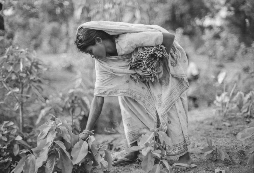 A woman picks tendu leaves for use in beedi cigarettes