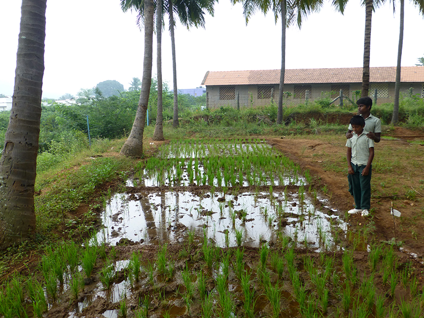 micro plots of paddy at vidya vanam